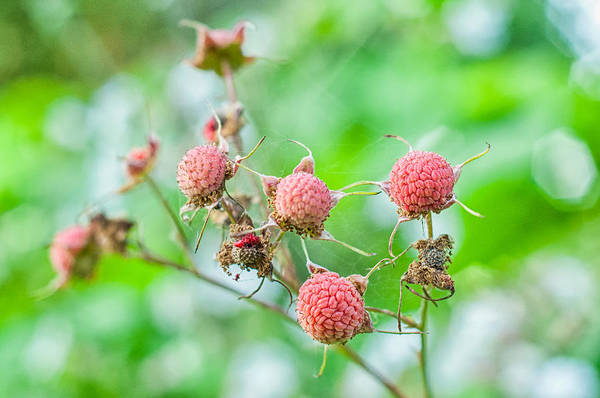 Wall Art - Photograph - Ripening Wild Thimbleberries by Rich Leighton