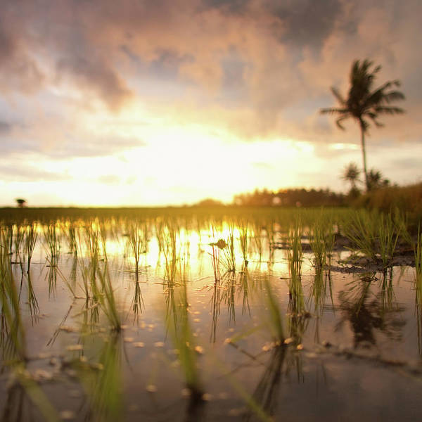 Indonesian Culture Photograph - Rise Fields At Sunset by Piskunov