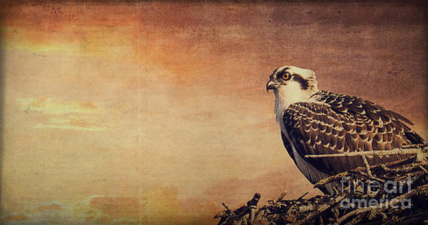 Ospreys Photograph - Rising Sun by Edward Fielding