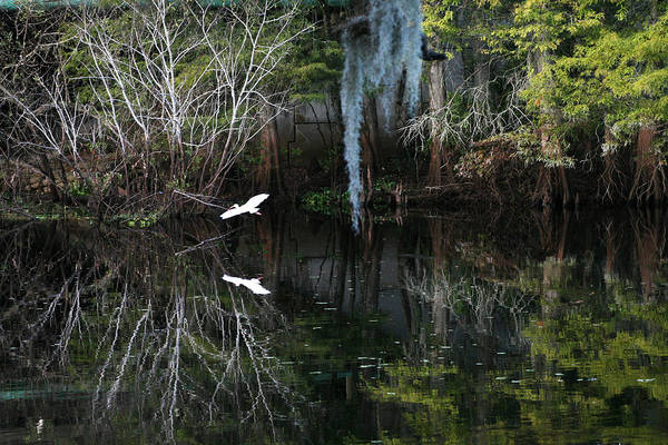 Egret Photograph - River Mirror  by Laura OConnell