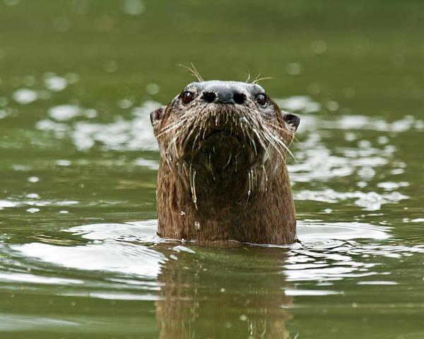 River Otter 1 Art Print