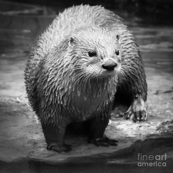 Photograph - River Otter by Chris Scroggins