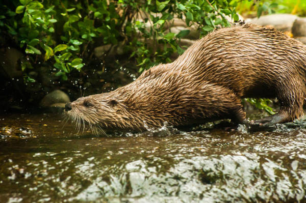 Photograph - River Otter by Crystal Hoeveler
