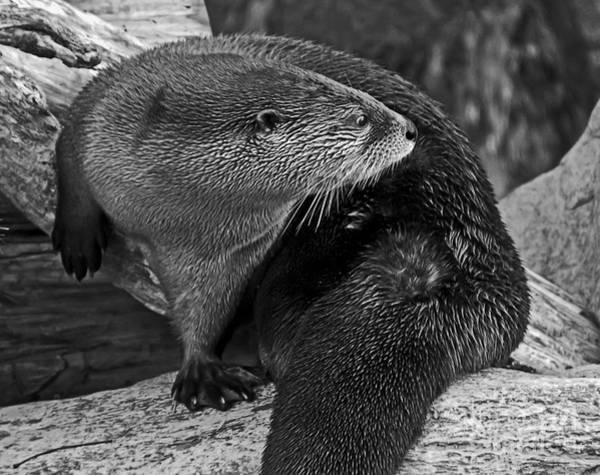 Photograph - River Otter In Black And White by Kate Brown