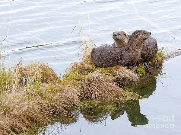 Photograph - River Otters by Gary Beeler