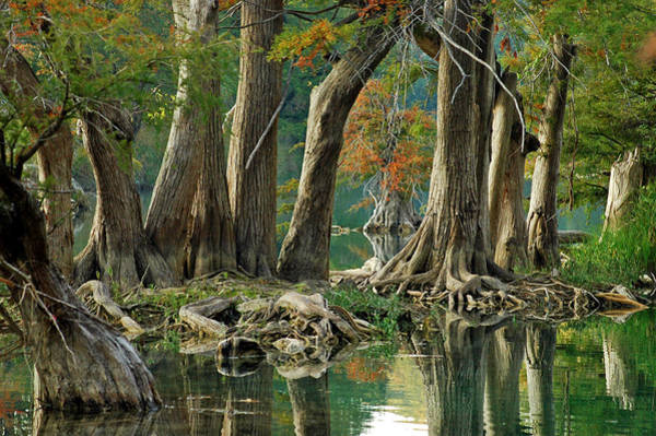Wall Art - Photograph - River Road Cypress by Robert Anschutz