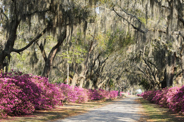 Photograph - Road With Azaleas And Live Oaks by Bradford Martin