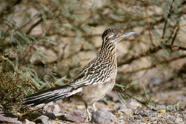 Cuculidae Photograph - Roadrunner Geococcyx Californianus by Mark Newman
