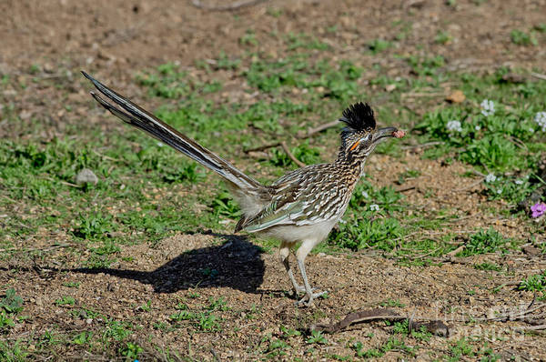 Cuculidae Photograph - Roadrunner Male With Food by Anthony Mercieca