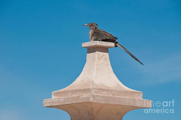 Cuculidae Photograph - Roadrunner Perched On Pedestal by Mark Newman