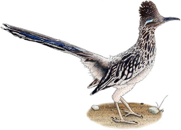 Cuculidae Photograph - Roadrunner by Roger Hall
