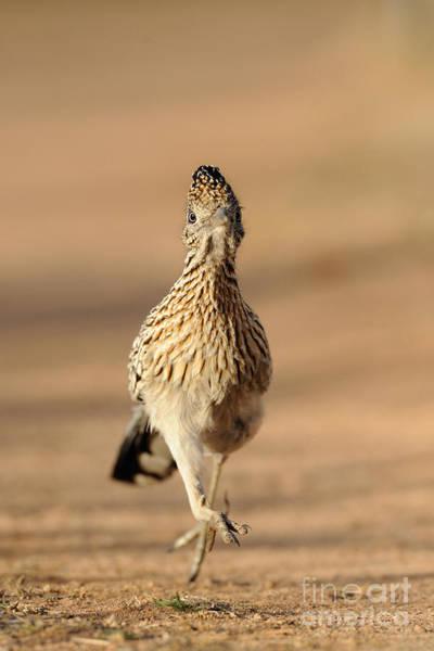 Geococcyx Photograph - Roadrunner Running by Scott Linstead