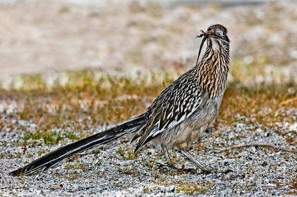 Cuculidae Photograph - Roadrunner With Lizard by Anthony Mercieca