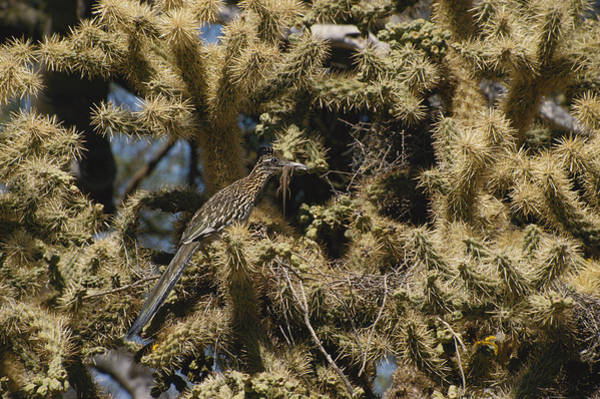 Cuculidae Photograph - Roadrunner With Lizard by Charlie Ott