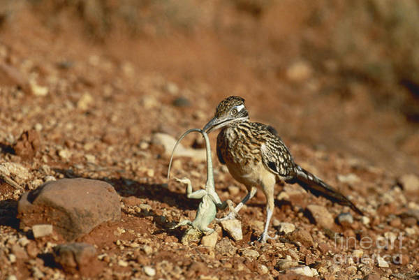 Cuculidae Photograph - Roadrunner With Lizard by Wyman Meinzer/Okapia