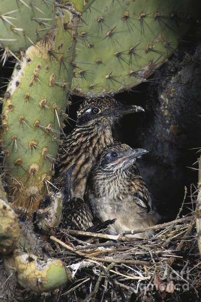 Cuculidae Photograph - Roadrunners In Nest by Anthony Mercieca