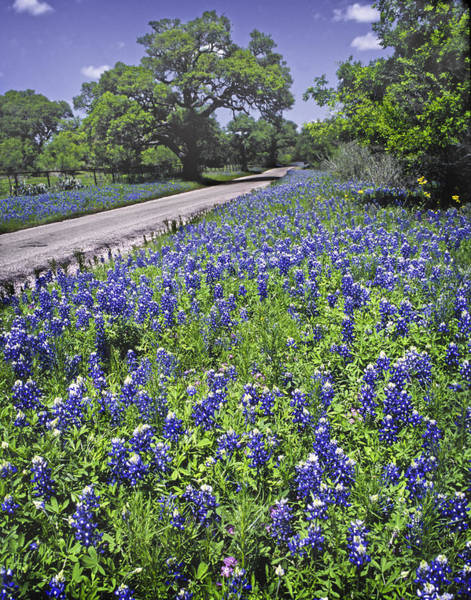 Texas Bluebonnet Photograph - Roadside Bluebonnets  by David and Carol Kelly
