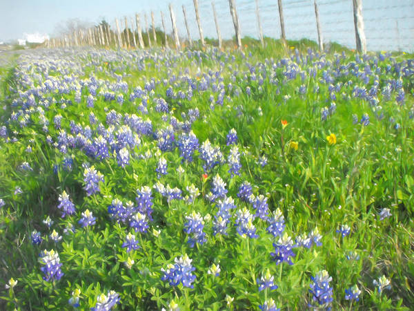 Texas Bluebonnet Digital Art - Roadside Bluebonnets  by Jayne Wilson