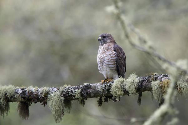 Roadside Hawk Perched On A Lichen-covered Branch 2 Art Print