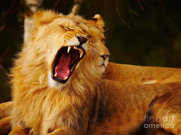 Photograph - Roaring Lion And Lioness by Nick  Biemans