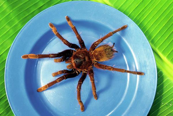 Arachnida Wall Art - Photograph - Roasted Tarantula Theraphosa Leblondi by Peter Menzel/science Photo Library