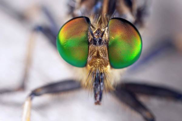 Robbers Photograph - Robber Fly Eyes by Alex Hyde