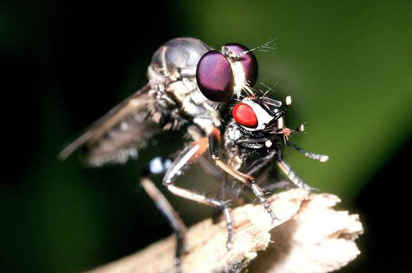 Robbers Photograph - Robber Fly Feeding On Its Prey by Sinclair Stammers/science Photo Library