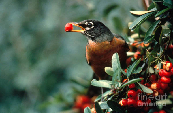 Michigan Ave Photograph - Robin Eating Pyracantha Berries by Ron Sanford
