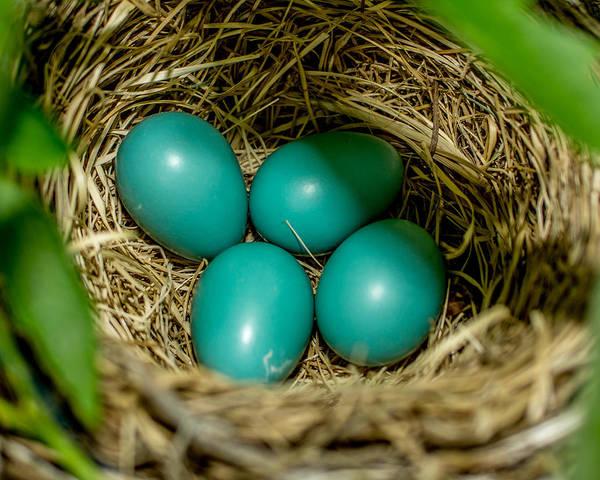 Robin Egg Blue Photograph - Robin Eggs by Ernie Echols