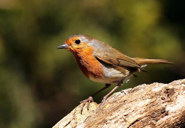 Photograph - Robin by Grant Glendinning