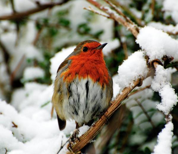 Red Robin Photograph - Robin by Ian Gowland/science Photo Library
