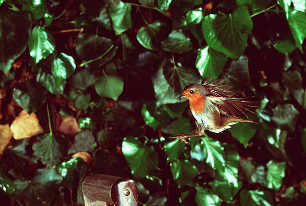 European Robin Photograph - Robin In Flight by Andy Harmer/science Photo Library