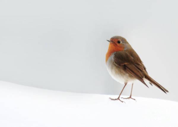 Robin Into The Snow Art Print