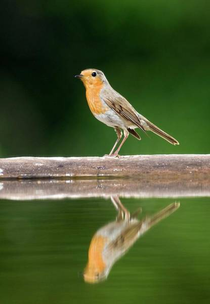 Red Robin Photograph - Robin by John Devries/science Photo Library
