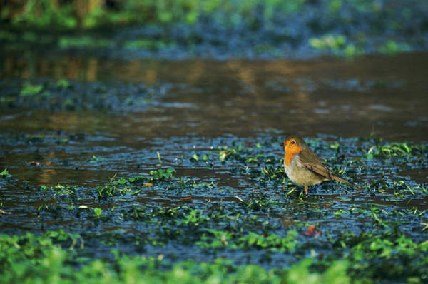 Red Robin Photograph - Robin by Leslie J Borg/science Photo Library