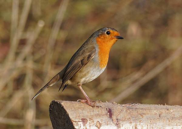 Photograph - Robin On A Log -2 by Paul Gulliver
