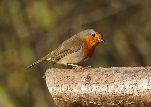 Photograph - Robin On A Log by Paul Gulliver