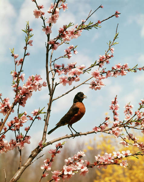 Forsythia Photograph - Robin Perched On Tree Branch by Animal Images