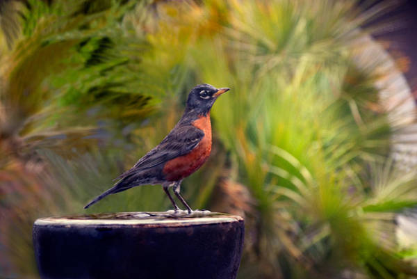 Photograph - Robin Red Breast by Donna Proctor
