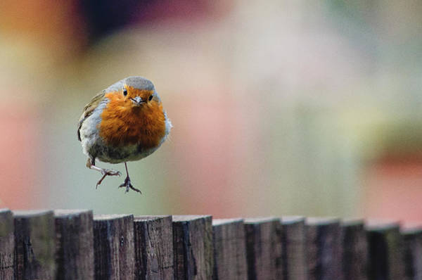 Back In The Day Photograph - Robin Red Breast Landing by By Gerry Greer