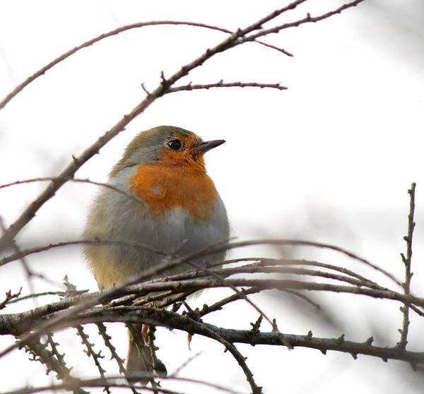 Photograph - Robin Red Breast by Sarah Broadmeadow-Thomas