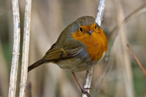Wall Art - Photograph - Robin Redbreast by Chris Whittle
