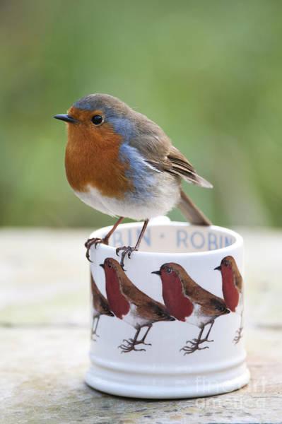 European Robin Photograph - Robin Redbreast by Tim Gainey