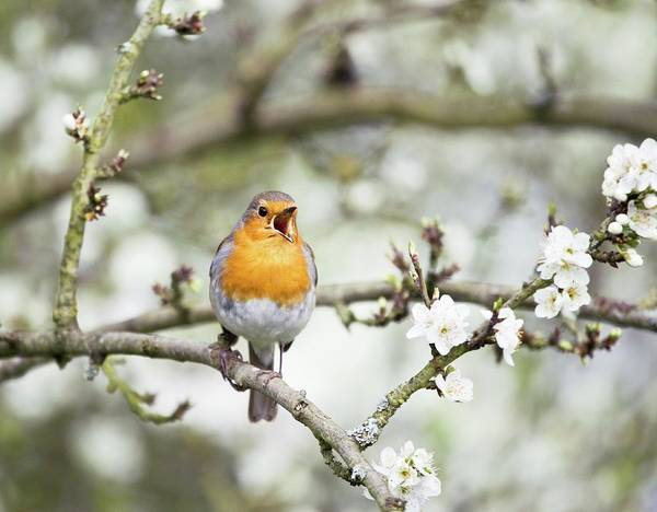 Red Robin Photograph - Robin Singing On A Branch by Gustoimages/science Photo Library
