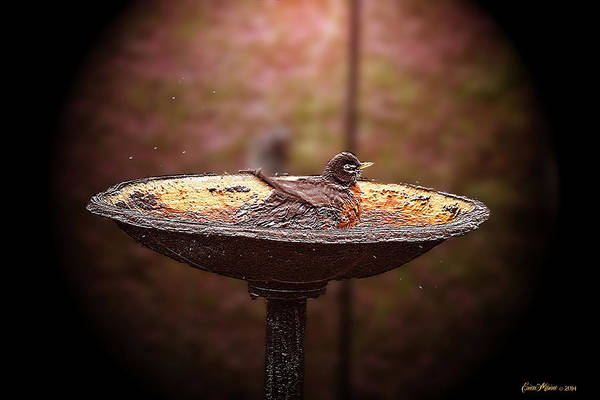 Photograph - Robin Takes Morning Bath by Ericamaxine Price