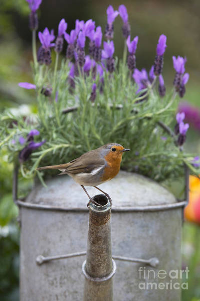 English Garden Photograph - Robin by Tim Gainey