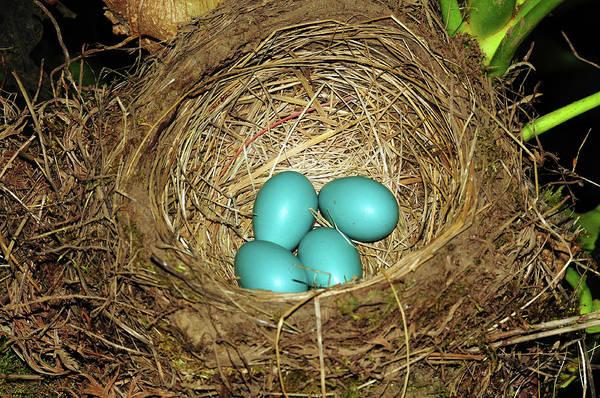 Backyard Bird Photograph - Robin's Eggs, Backyard, Portland by Michel Hersen