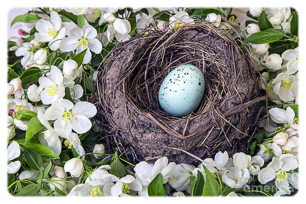 Birds Eggs Photograph - Robin's Nest by Edward Fielding