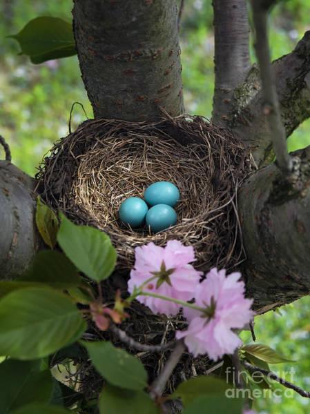 Robin Egg Blue Photograph - Robin's Nest by John Greim