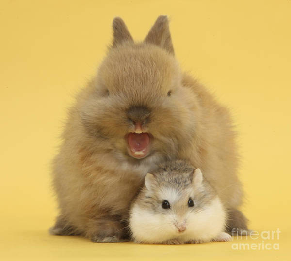 Photograph - Roborovski Hamster And Rabbit by Mark Taylor
